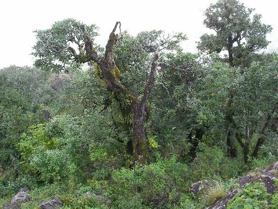 シャクナゲの古木